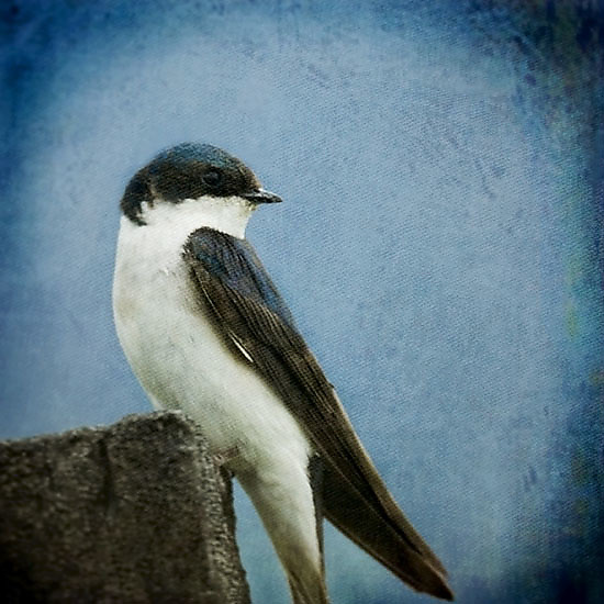 Song of a Tree Swallow I