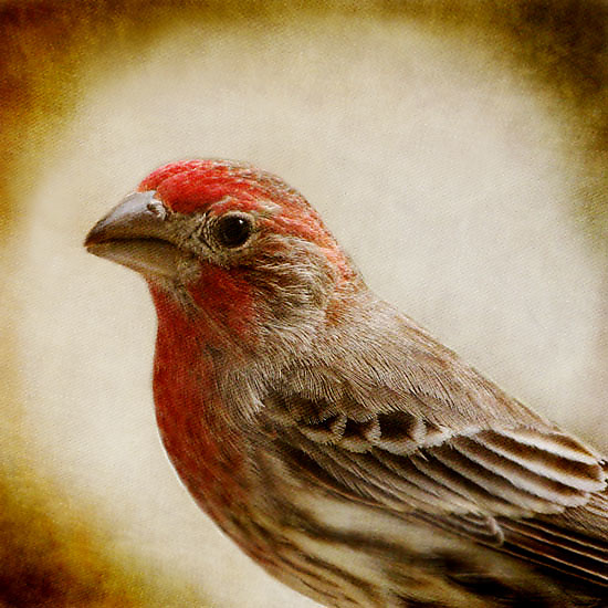 Song of a House Finch