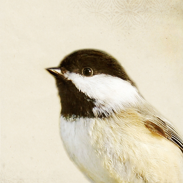 Song of a Black-Capped Chickadee